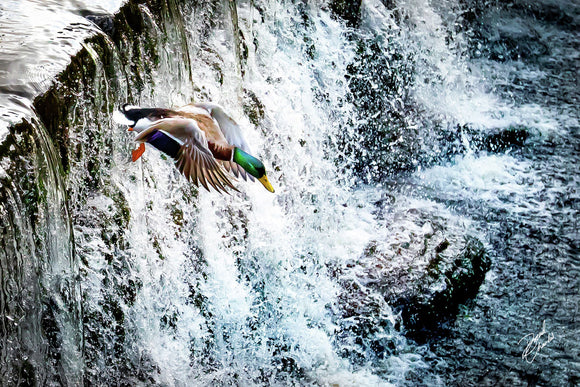 Marsden Duck Leap 1