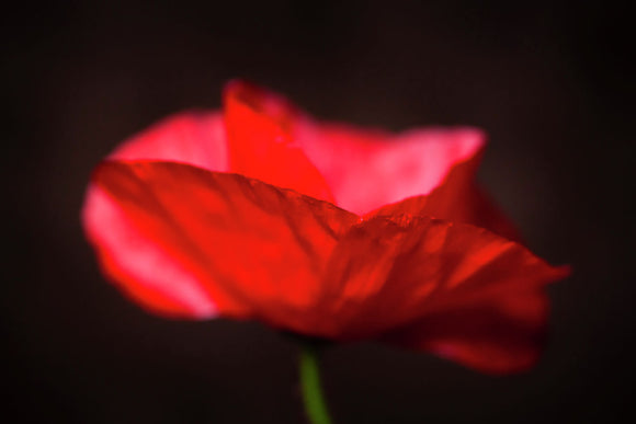 Red poppy, close up