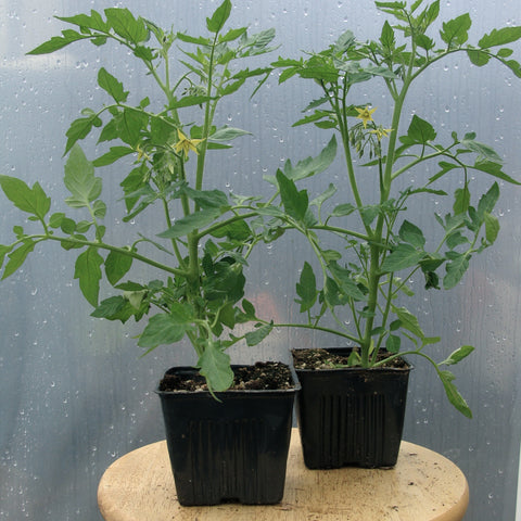 Tomatoes - Sun Gold Cherry