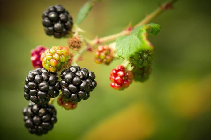 How Blackberries Are Working to Make you Healthier