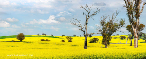 Canola & Trees in harmony on the Canowindra Rd .. (Texture)