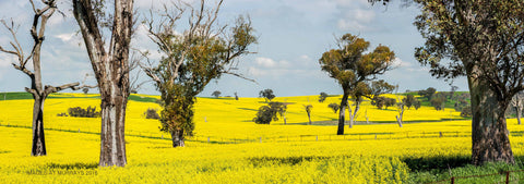 A Study of Canola & Trees on the Canowindra Rd