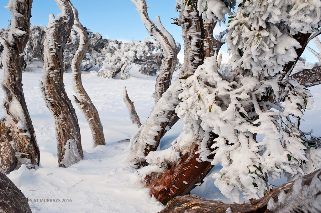 The Winter Gallery - Tortured Trees ..