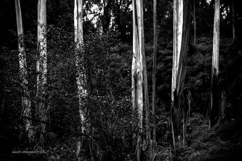The Lyrebird Dell walk (B+W)