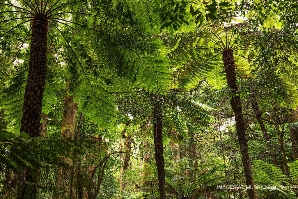 The Cathedral of Ferns - Spectacular Tree-Ferns