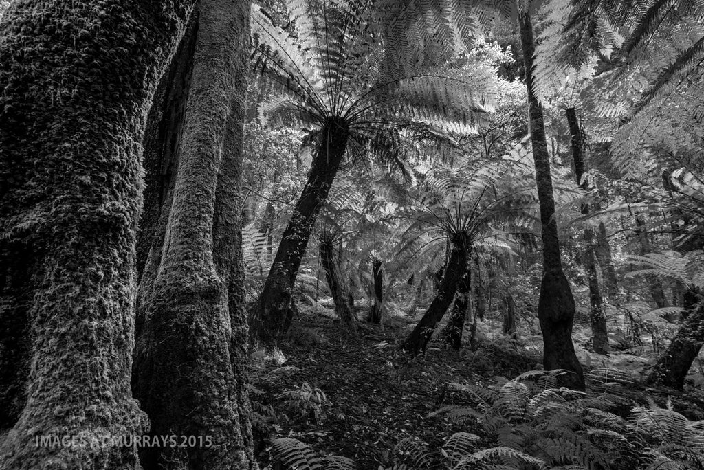 The Cathedral of Ferns - Looking for the Dinosaurs .. B+W