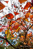 The Colours of Autumn - Leaves, tethered, at Mt Wilson ..
