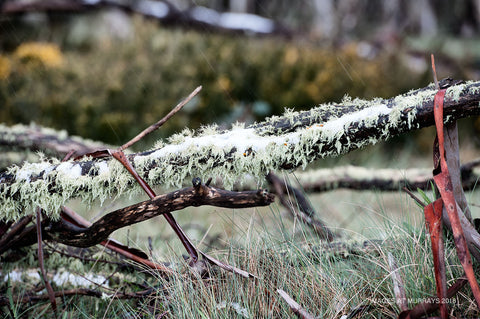 Lichen on a snow-covered branch