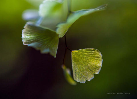 Translucent & Serrated Maidenhair leaves