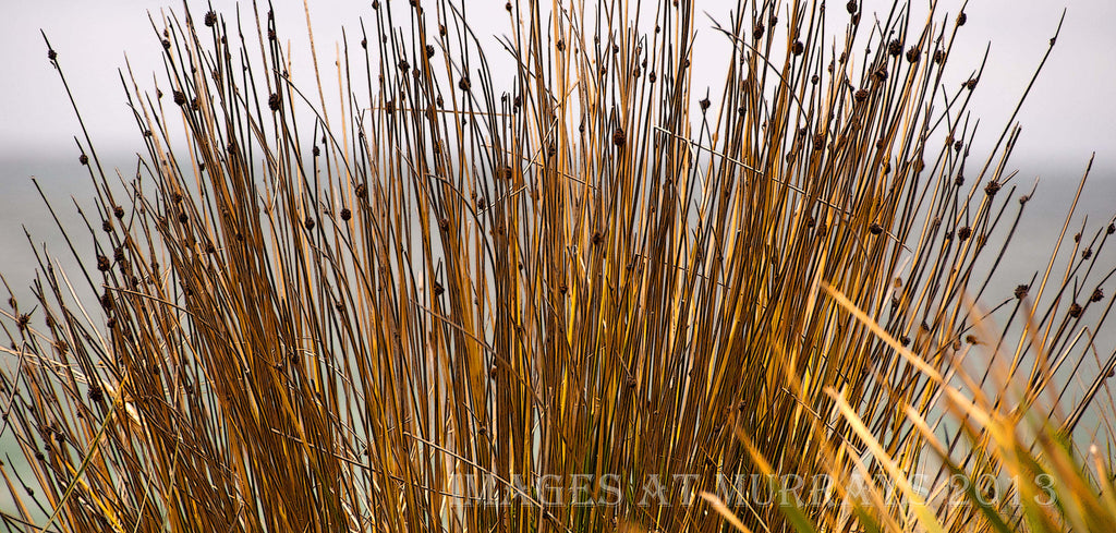 Textured image of Grasses in the Elouera Dunes