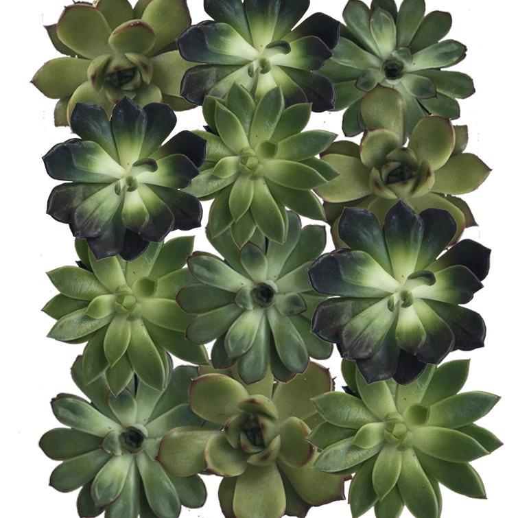 "4"" Diameter Succulent Cuttings in Green, Burgundy and BrownTones  - Assortment of 12"