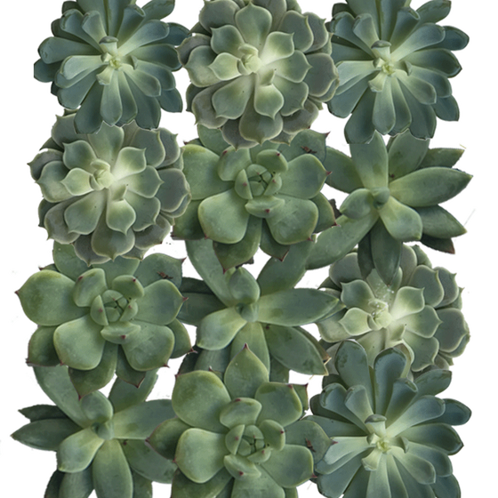 "4"" Diameter Succulent Cuttings in Green and Grey Tones  - Assortment of 12"