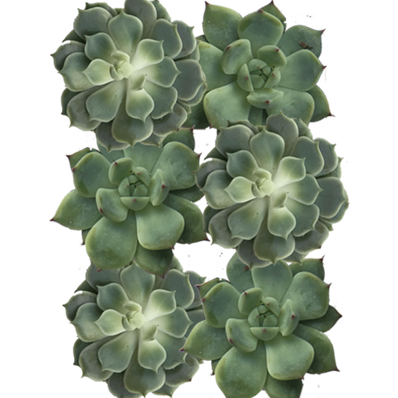 "6"" Diameter Succulent Cuttings in Green and Grey Tones  - Assortment of 6"