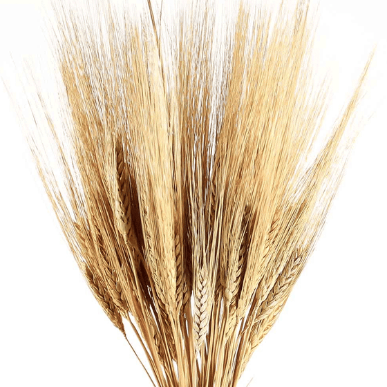 Golden Bearded Wheat - 8 oz