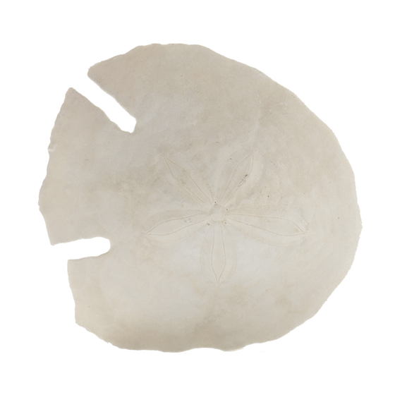 Sand Dollar - Set of 6