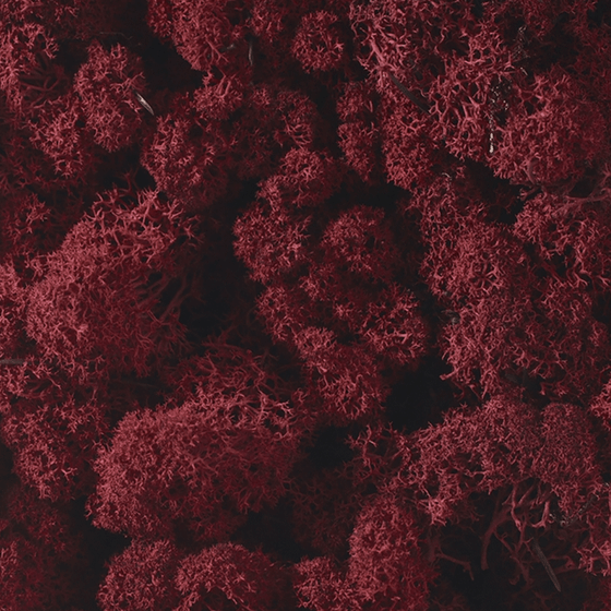 Dark Red Reindeer Moss