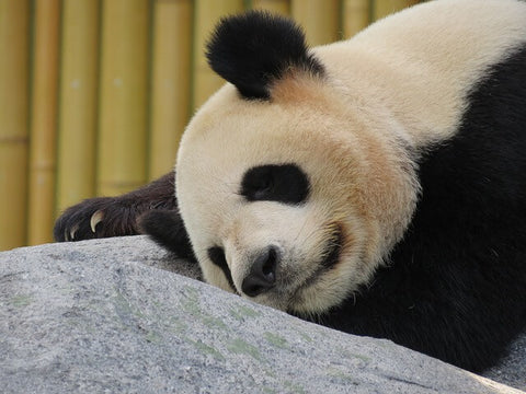 un panda allonge qui se repose