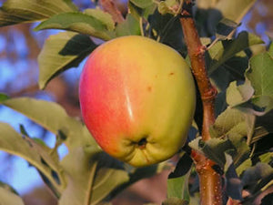 Anna Apple organic apple tree