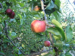 Baldwin organic heirloom apple tree