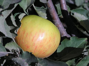 Belle de Boskoop organic heirloom apple tree