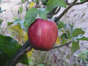 Black Gilliflower organic heirloom apple tree