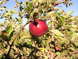 Black Limbertwig organic heirloom apple tree