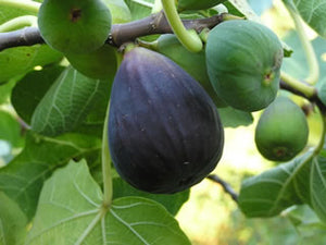 Black Mission Fig tree