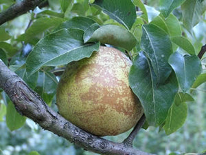 Comice heirloom pear tree