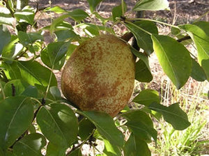 Duchesse d'Angouleme organic heirloom pear tree