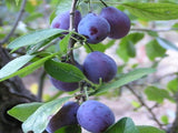 French heirloom Plum tree for sale