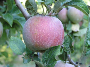 Hauer Pippin organic heirloom apple tree