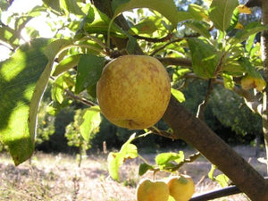 Hooples Antique Gold heirloom apple tree for sale