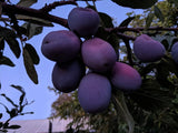 Italian plum fellenberg organic heirloom fruit trees