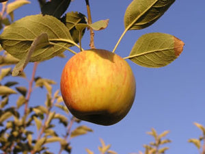 Kidd's Orange Red heirloom apple tree for sale