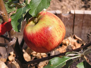 King of Tompkins heirloom apple tree for sale