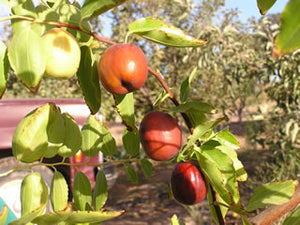 Li Jujube tree for sale