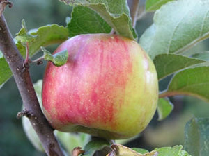 Maigold  certified organic apple trees for sale