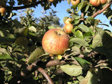 Muscat de Bernay cider apple tree for sale