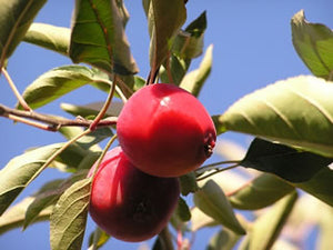 Red Vein Crabapple fruit tree for sale