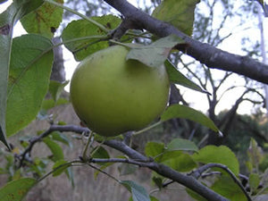 Rhode Island Greening organic heirloom apple tree for sale