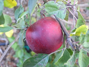Rome Beauty organic heirloom apple tree