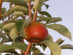 Seckel heirloom pear tree
