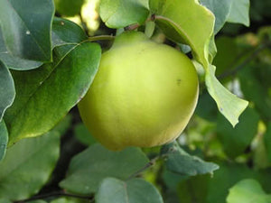 Symrna Quince tree for sale