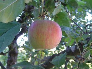 Spigold heirloom apple tree for sale