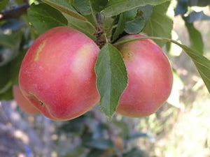 Splendour organic heirloom apple trees