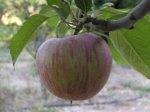 Stayman Winesap certified organic heirloom apple tree