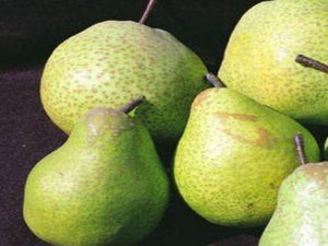 Tsu Li pear tree for sale
