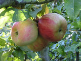 Wagener heirloom apple tree