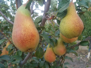 Abate Fetel  organic heirloom pear tree