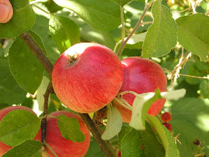 akane organic apple tree